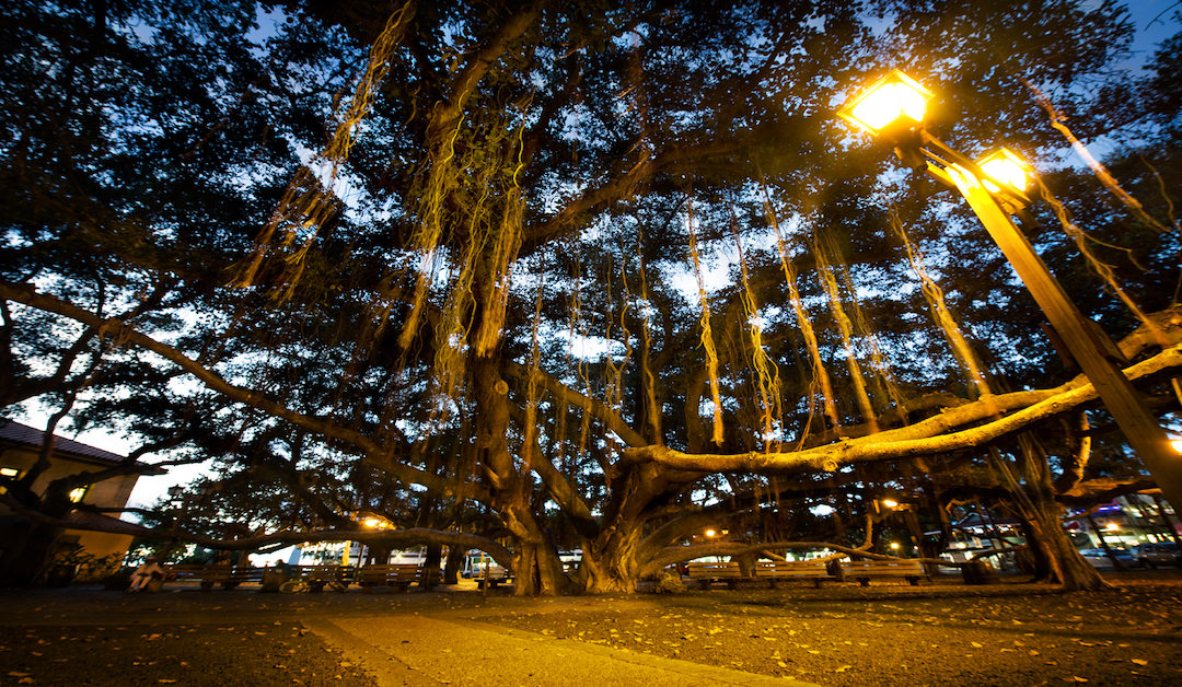 A Brief History of the Lahaina Banyan Tree