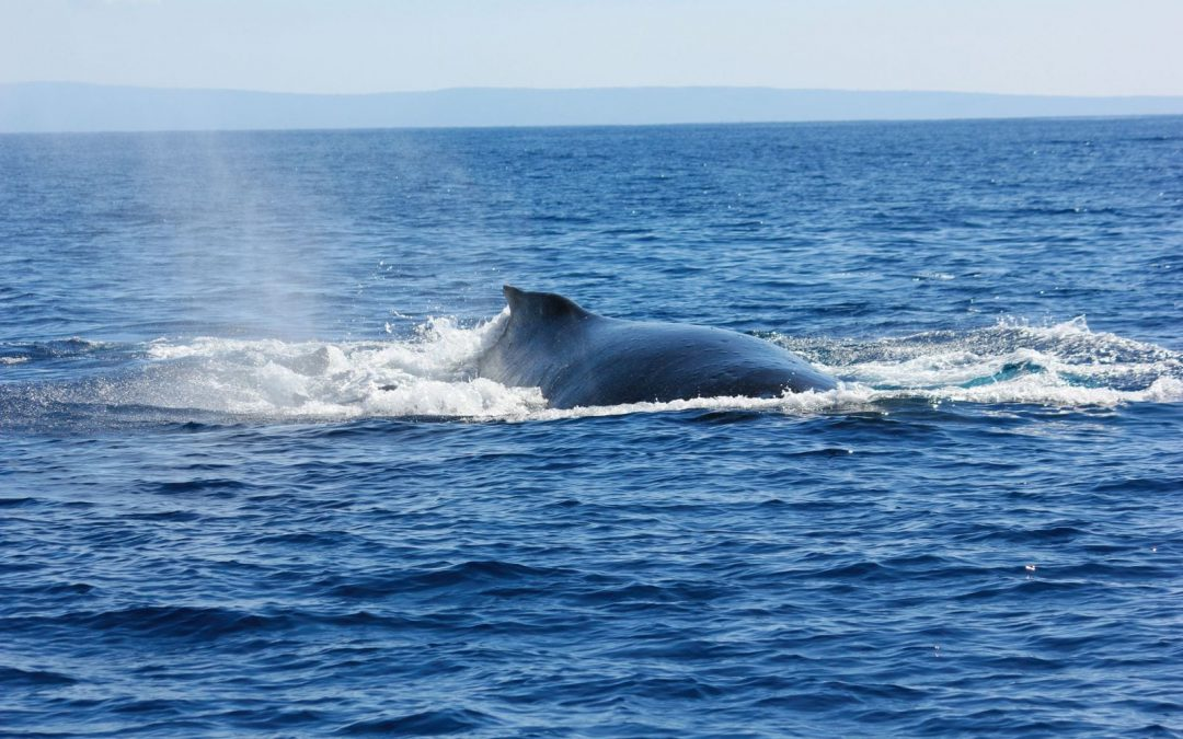 Humpback Whales are Ocean Heroes