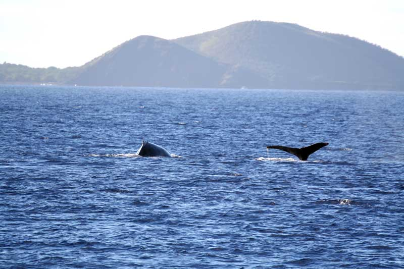 9 Humpback Whale Populations Removed From Endangered Species List