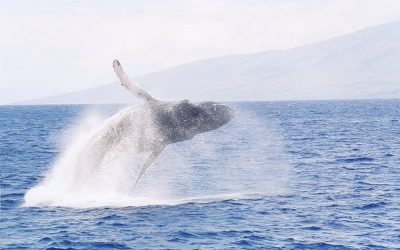 Maui Whale Watch Guide – Why Humpbacks Breach