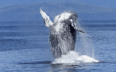 A Visual Guide To Common Humpback Whale Behavior