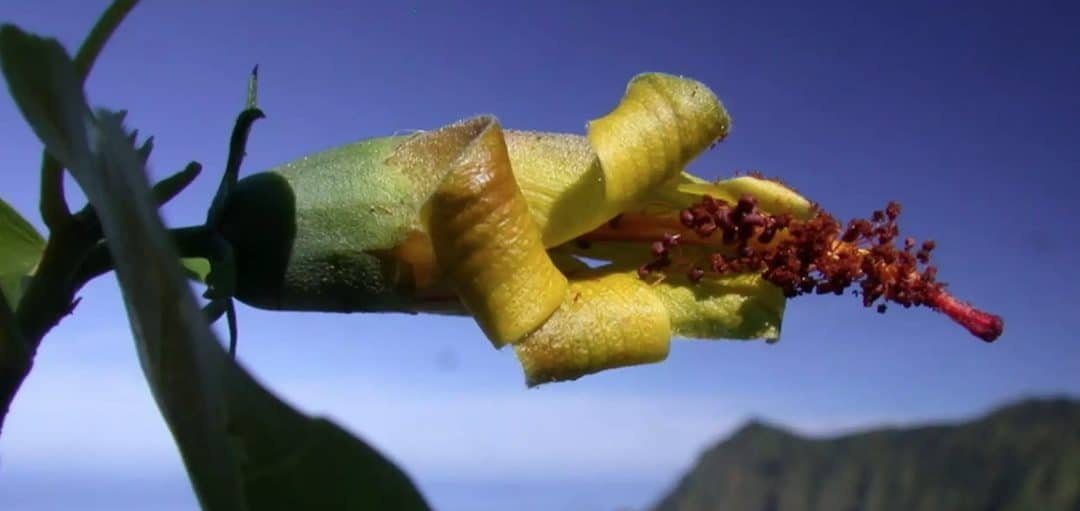 Rare Flower In Hawaii Thought To Be Extinct… FOUND!