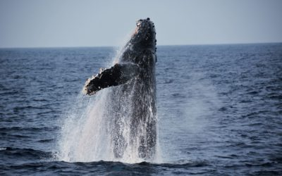 Why are Hawaii's Whale Populations Declining?